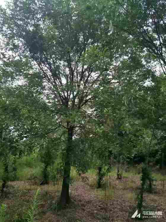 四川温江皂角树20公分25公分价格低农户直销质优价廉