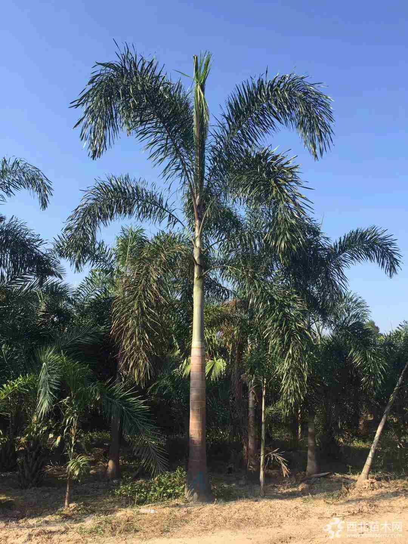 狐尾椰子怎么賣  狐尾椰子多少錢一棵