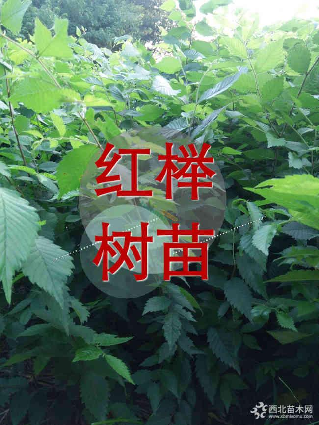 櫸樹小苗哪里有?江蘇櫸樹小苗價格1.5元
