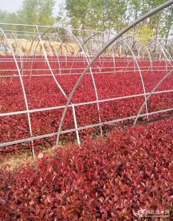 40公分高紅葉石楠小苗價格