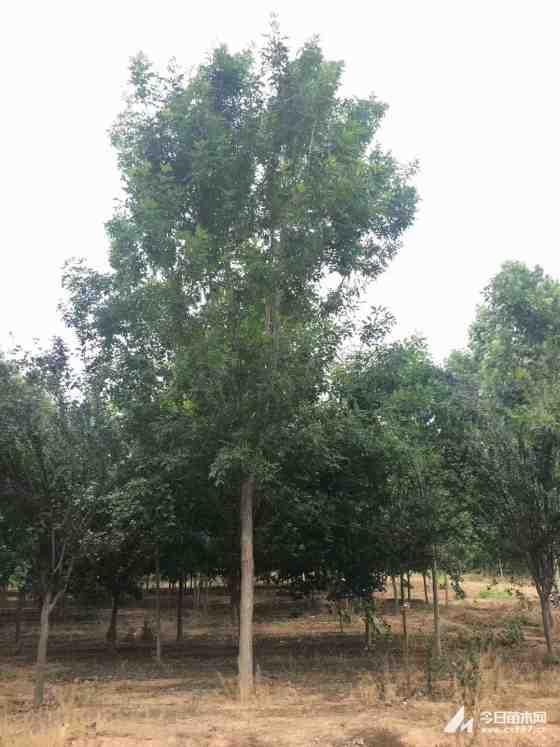 12公分白蠟樹價格 江蘇白蠟樹基地