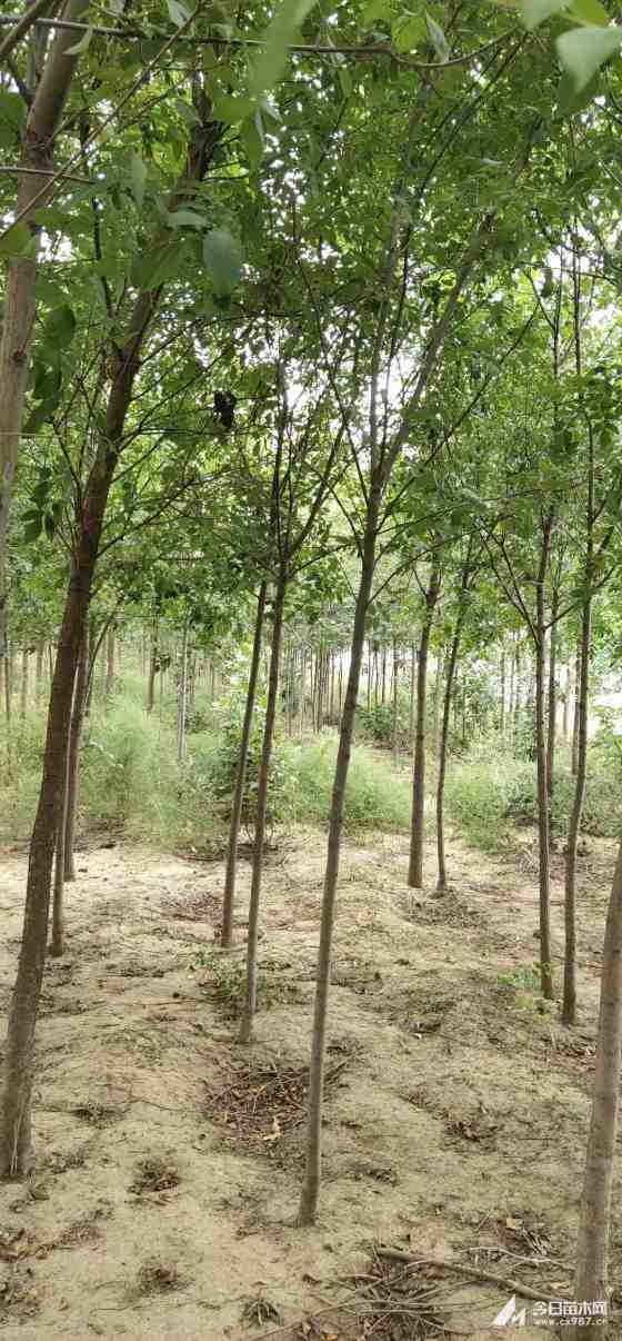 10五月天开心激情网白蜡树价格 江苏白蜡树基地