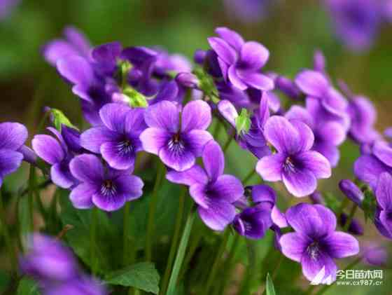 紫花地丁基地价格批发