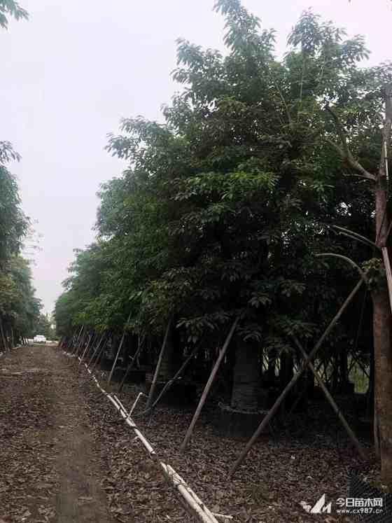 漳州20公分大叶榕基地直销 大叶榕哪里卖