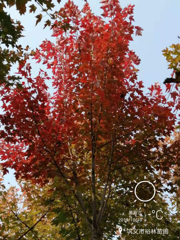 郑州美国红枫树苗 美国红枫种植基地直销