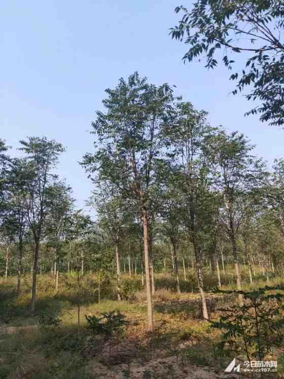 18公分臭椿樹價格 江蘇臭椿樹基地