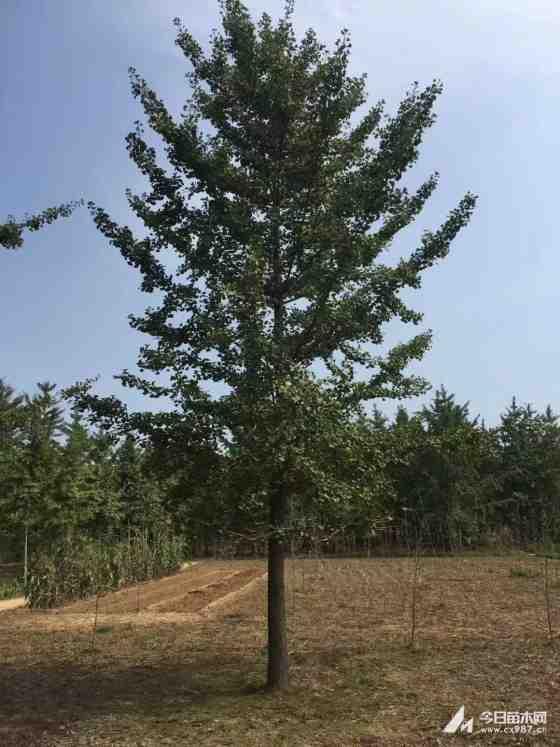 15公分銀杏樹價格 江蘇銀杏樹基地