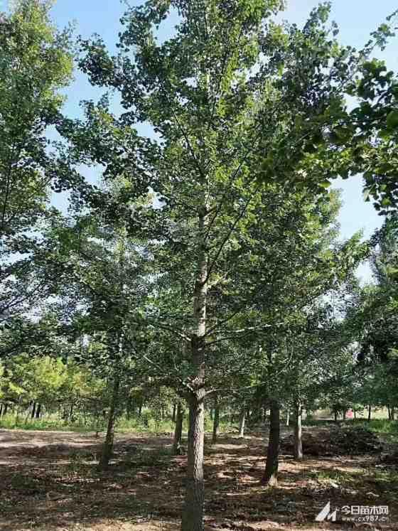 10公分银杏树价格 江苏银杏树基地