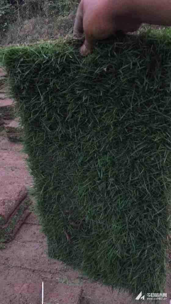 马尼拉草坪价格 新马尼拉草皮价格