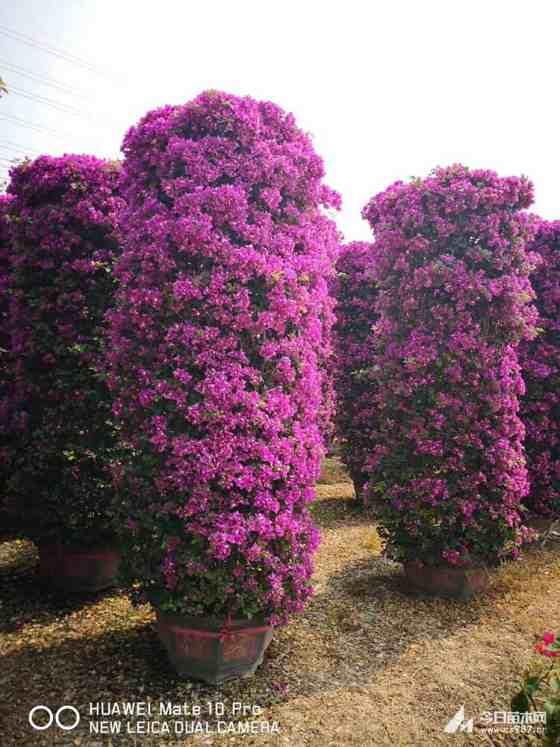 福建高2.5米紫色三角梅柱价格 紫色三角梅柱基地直销
