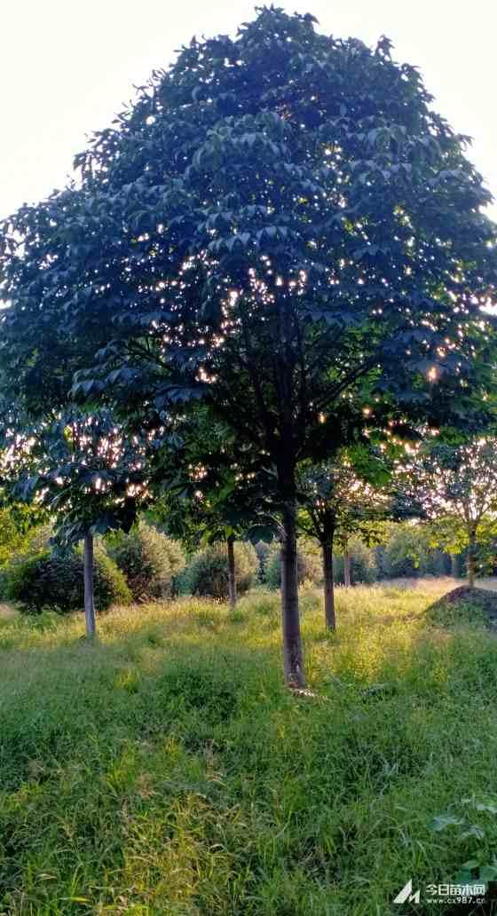 15公分七叶树价格 陕西七叶树多少钱一棵