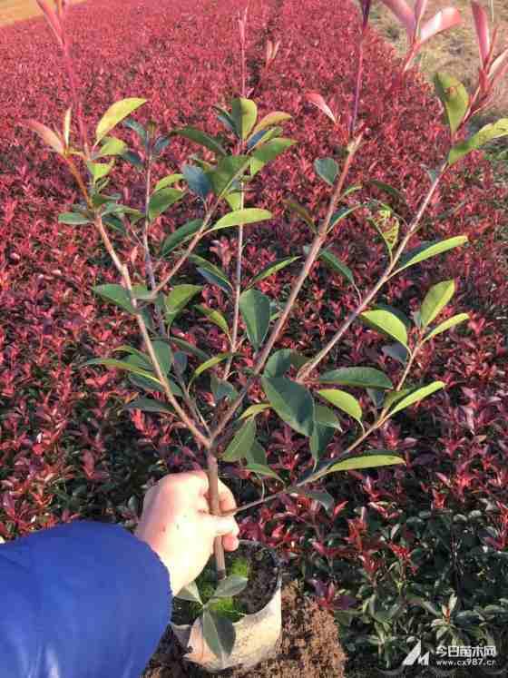 2年生红叶石楠大杯苗价格 红叶石楠大杯苗种植基地