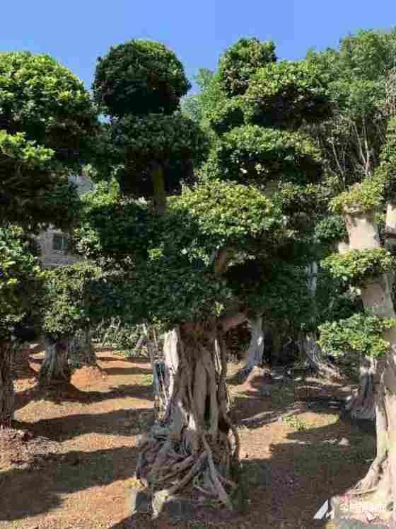 4米高榕樹哪里有賣的 福建榕樹基地