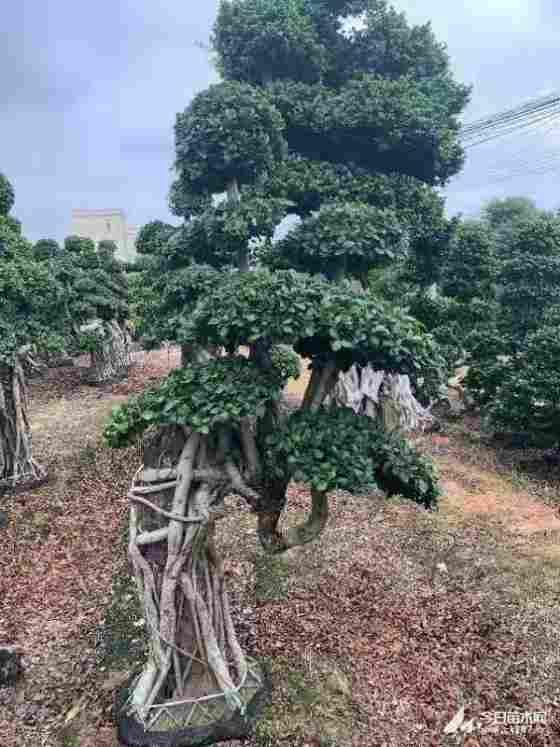 造型榕树盆景行情 福建造型榕树盆景基地
