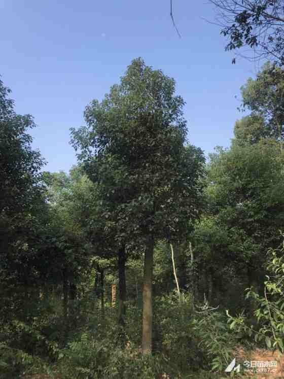 18公分锯杆移植香樟  湖南移植香樟种植基地