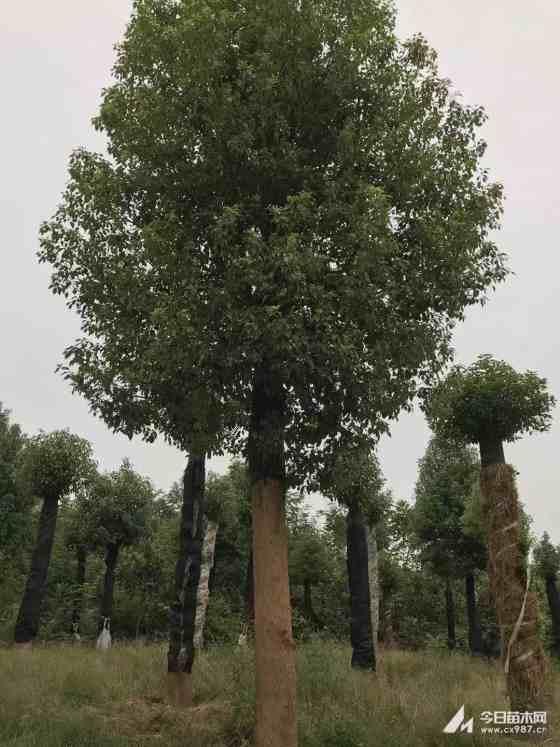 30公分移植香樟价格 基地香樟移植苗批发价格