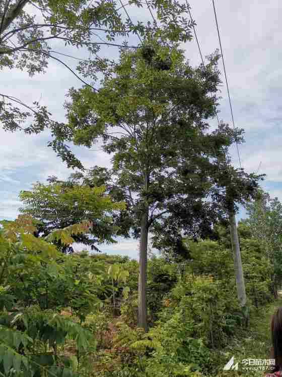 米径30公分精品全冠朴树多少钱一棵?精品全冠朴树价格查询