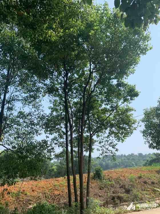 移植香樟基地 丛生香樟批发价格  湖北香樟基地
