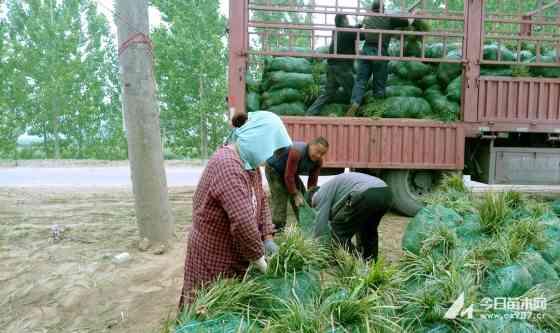 山東麥冬草價格 批發 綠化麥冬草基地