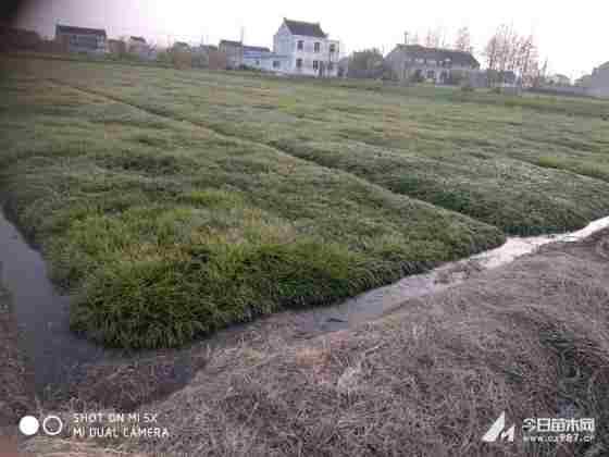 麦冬草 麦冬草基地 俺去也 江苏常州麦冬草草坪