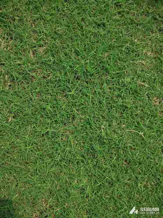 绿化草坪 混播草坪