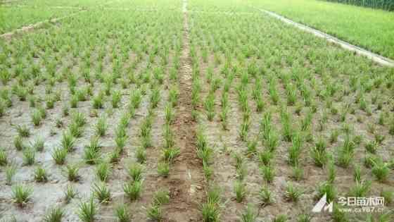 山東麥冬草產地 麥冬草產地批發價格
