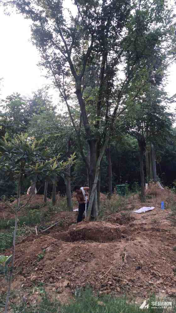 70公分丛生朴树多少钱一棵?80公分移栽朴树市场价多少?丛生朴树价格查询