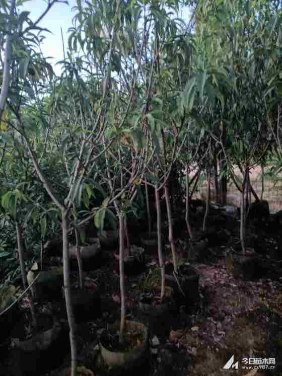 三月红桃树苗哪里有卖  桃树苗基地