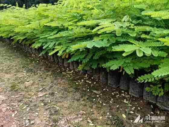 凤凰木小苗多少钱一棵 凤凰木适合在哪里种植