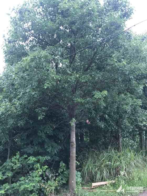 香樟树价格 湖北香樟种植基地