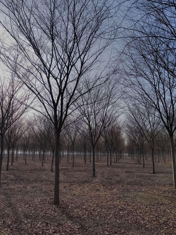 江苏榉树苗_江苏榉树批发 14公分榉树价格多少钱一棵 - 中国花木网