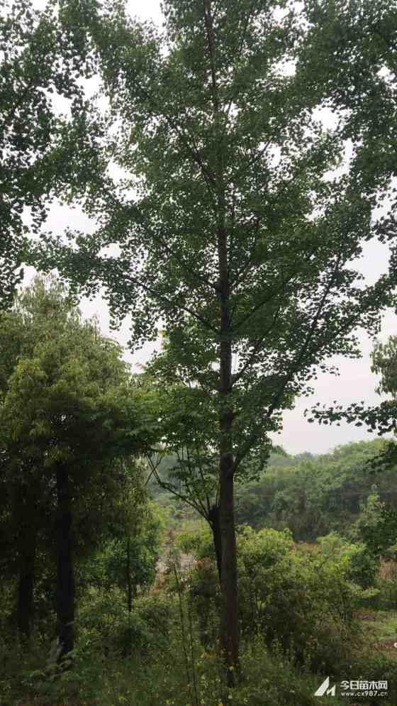 米径20公分银杏树苗价格 湖北银杏基地