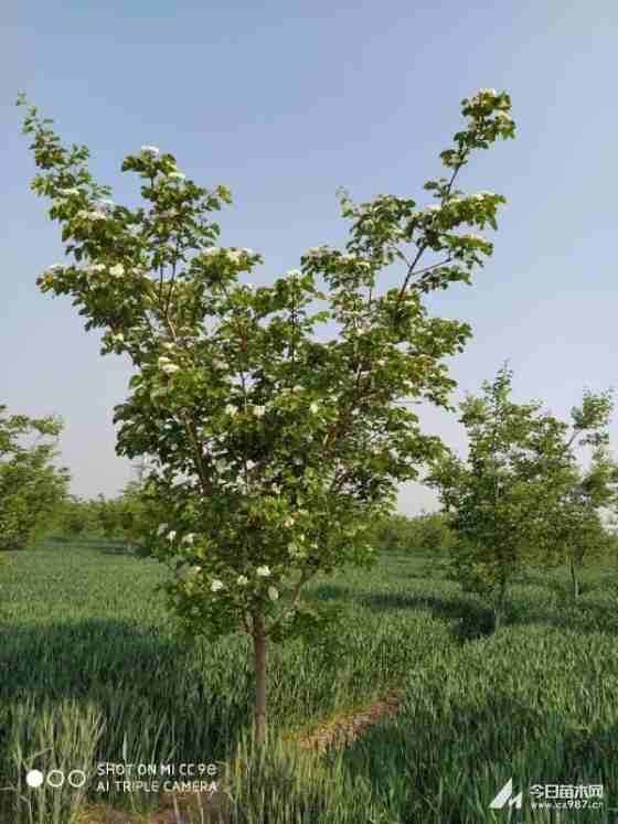 4公分山楂树多少钱一棵 山楂树批发基地