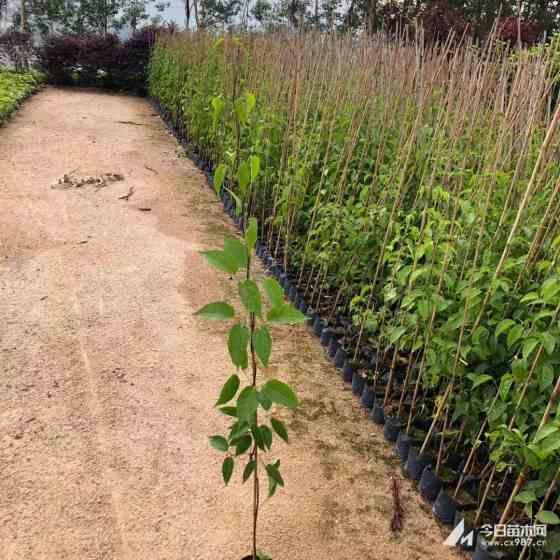 鞭炮花价格 爬藤炮仗花供应 四季开花庭院植物工程绿化炮仗花批发