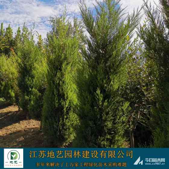 0.5米 0.6米 0.8米塔柏苗價格 江蘇塔柏苗木價格