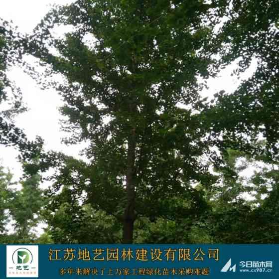 8-9-10公分银杏树价格 银杏树批发价格