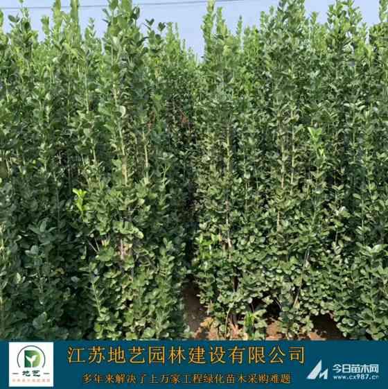 北海道黃楊苗木價格表 北海道黃楊苗木批發