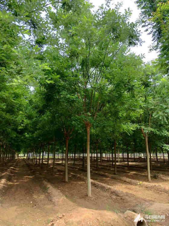 哪里有卖国槐树 15公分国槐多少钱一棵