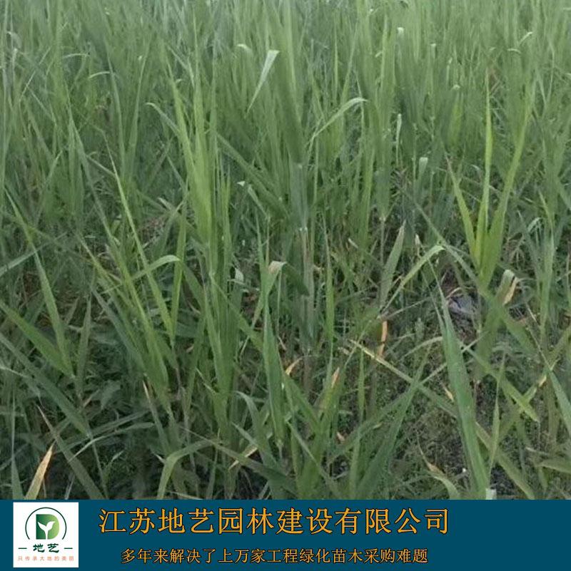 芦苇根的作用_1.2米芦苇批发 芦苇苗价格 芦苇苗出售 - 中国花木网