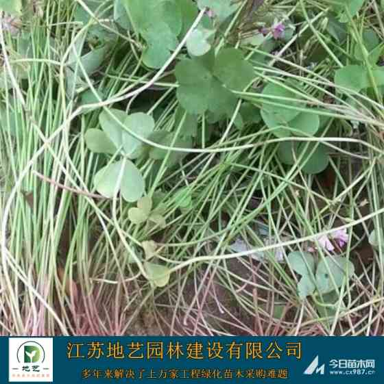 红花酢浆草批发 多年生红花醡浆草价格