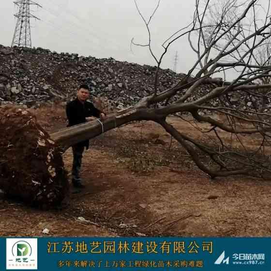 叢生樸樹裝車價格 12-15-20-25公分樸樹批發基地