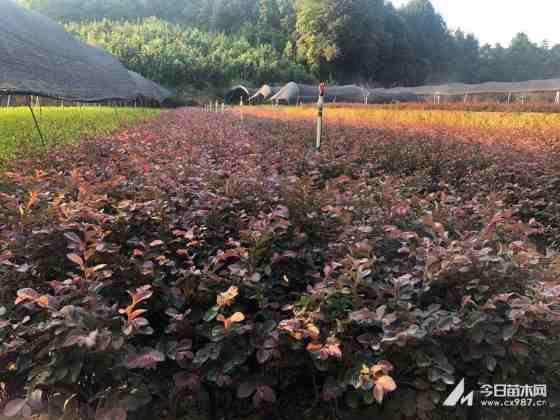 湖南红花继木杯苗价格 红花继木杯苗多少钱一棵