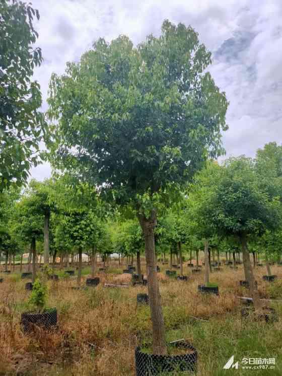 大香樟树价格 福建成年香樟树价格