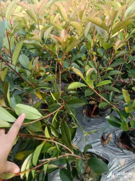 红叶石楠小杯苗价格 红叶石楠育苗基地