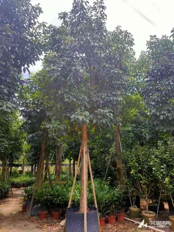 秋枫价格 15公分20公分秋枫树价格