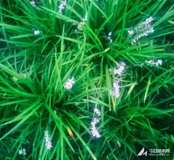 麦冬草 麦冬草价格多少 麦冬草基地批发