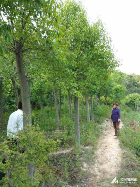 紅果冬青產地報價 3-6公分紅果冬青樹 價格行情