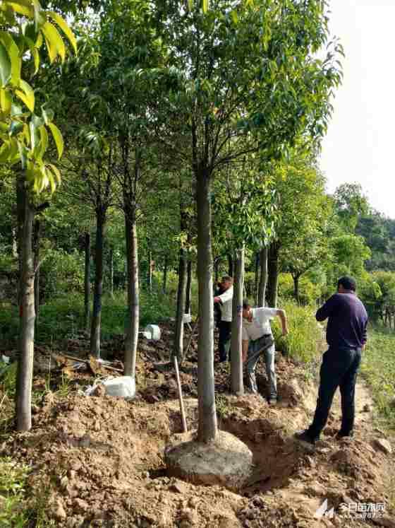 紅果冬青樹價格表 12公分紅果冬青上車價