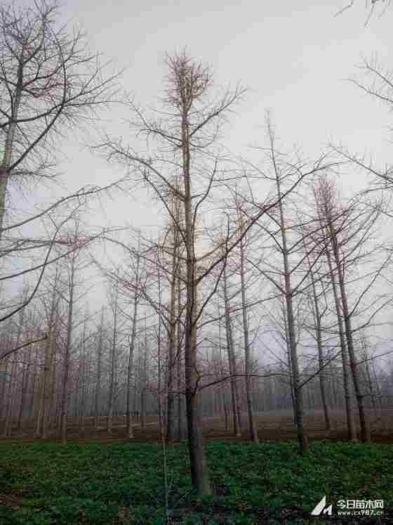 江西产地银杏树价格表 10公分银杏树多少钱一棵