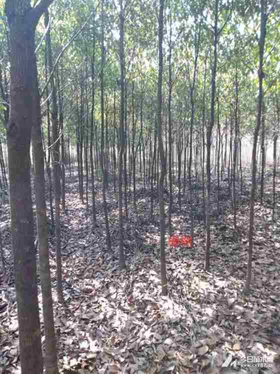 香樟树种植基地 4公分5公分香樟树批发价格